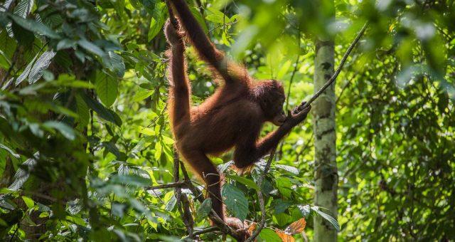 Sepilok Orangutang Rehabilitation Centre, actualizado 2020