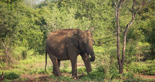 Visitar Udawalawe guía completa 2019. Un safari que te sorprenderá
